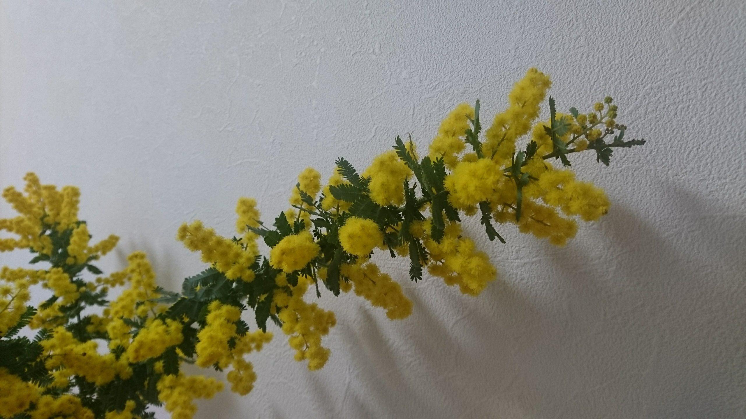 ミモザ切り花