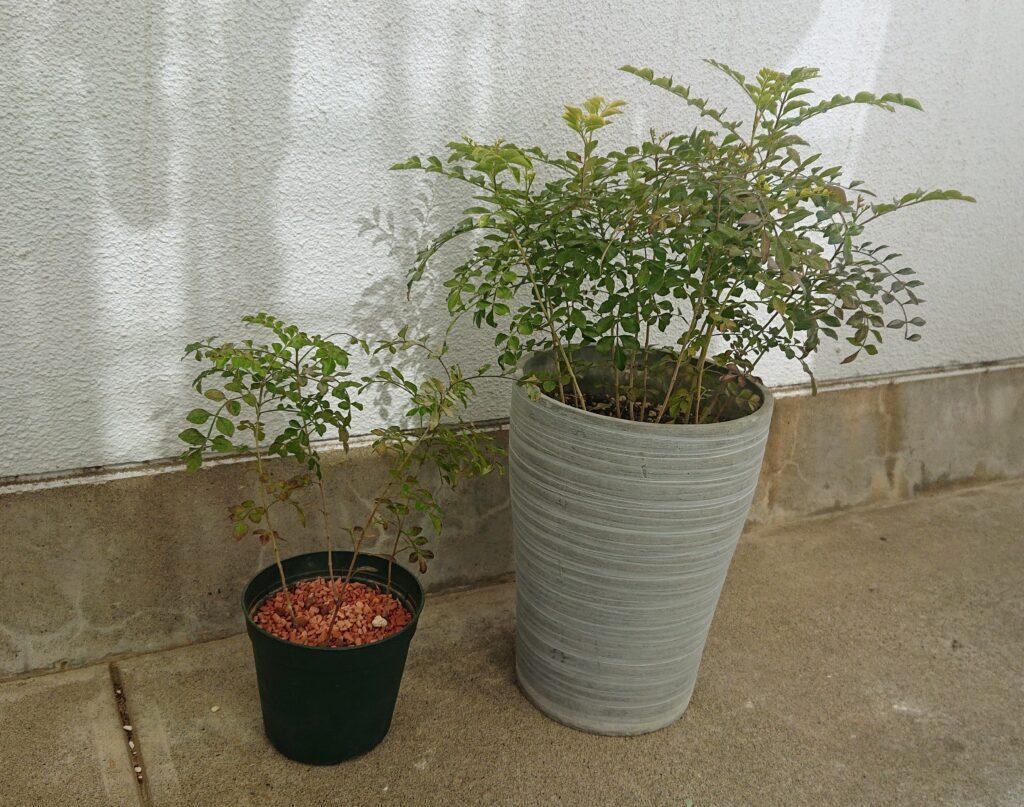 植物 土かセラミスか